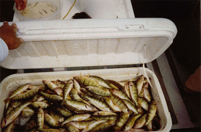 Cooler Full of Yellow Perch
