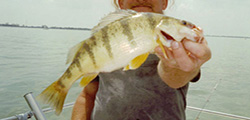 Lake Erie Perch